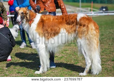 Russian Wolfhound Dog, Borzoi On The Exhibition, Sighthound, Russkaya Psovaya Borzaya, Psovi. Killer