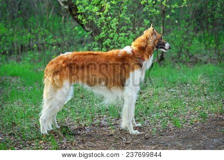 Russian Wolfhound Dog, Borzoi Walk, Sighthound, Russkaya Psovaya Borzaya, Psovi. Hunter, Killer Of W