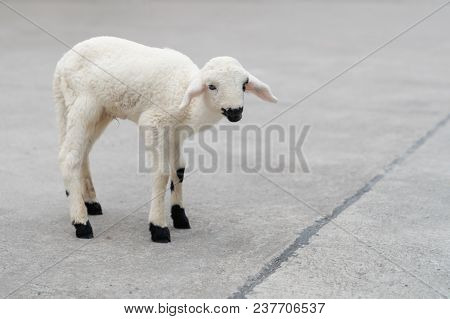 Cute White Baby Sheep On The Runway Road, Animal Mammal Concept.