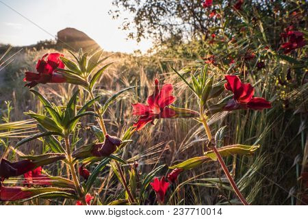 Red Santa Susana Monkey Flower in Santa Susana Pass State Historic Park near Los Angeles California.