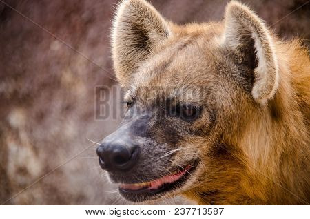 Canid Mammal Close Up In Its Cage At A Mexican Zoo