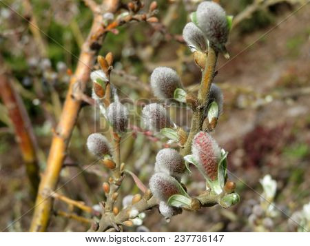 Willow Flowers In Spring Forest. Blooming Willow Branch, Salix Caprea