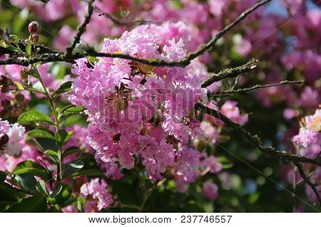 Pink Flowers On Young Branch On Summer Day