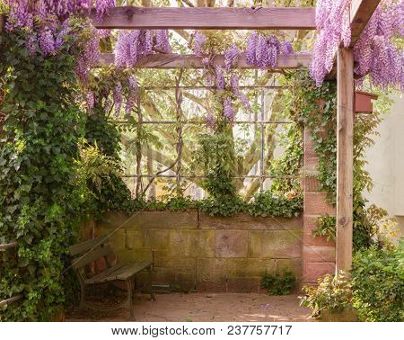 Spring Wisteria in a place of rest