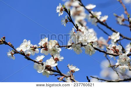 Flowering apricot branch against the blue sky