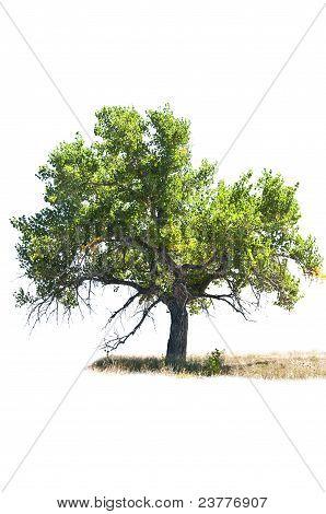 Cottonwood Tree Isolated On White