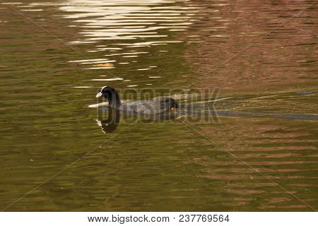 A single moorhen which swims in the lake of the Pond of the mute. The lake is to Elancourt, a French