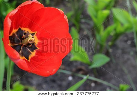 Tulips Growing In The Garden. Stock Photo