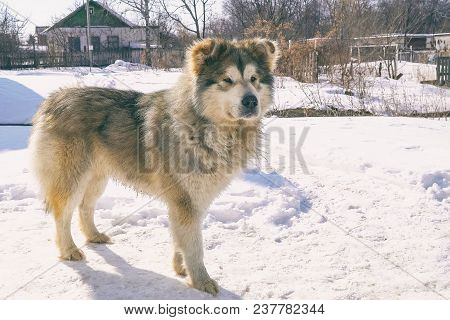 A Big Mongrel Dog Stands On The Snow