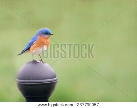 A Beautiful Male Eastern Bluebird Perched On A Mailbox.