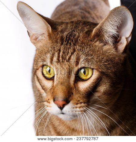 Close-up Portrait Of A Purebred Serengeti Cat.