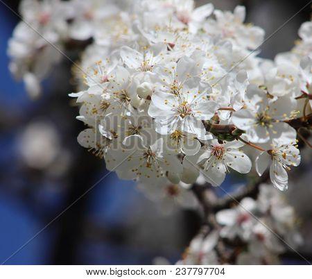 Flowering Plum Tree Branch In The Garden In Early Spring