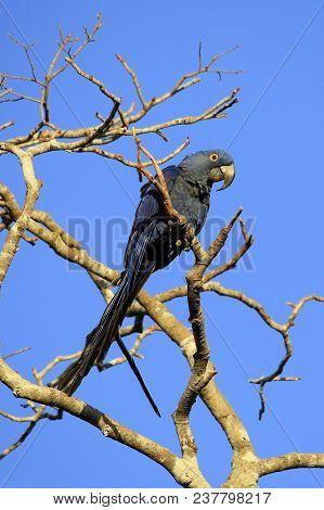 Hyacinth Macaw (nodorhynchus Hyacinthinus) On A Branch. Pantanal, Brazil
