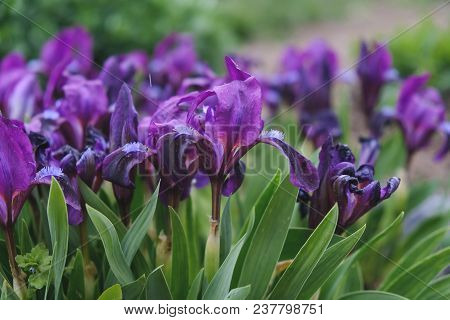 Purple Irises Flowered In The Spring In The Garden