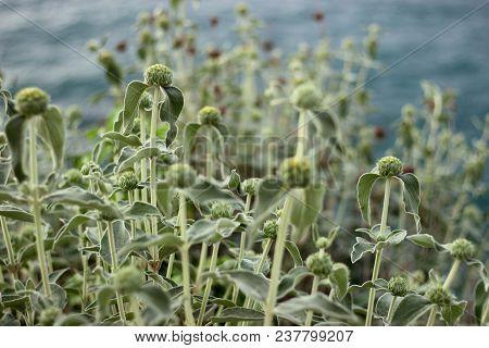 The Plant Phlomis Fruticosa, Jerusalem Sage In Spring Season On The Blurry Sea Coast Background, Med