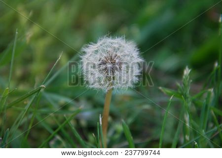 Dandelions Fluffy In The Green Grass Summer Time Isoalted