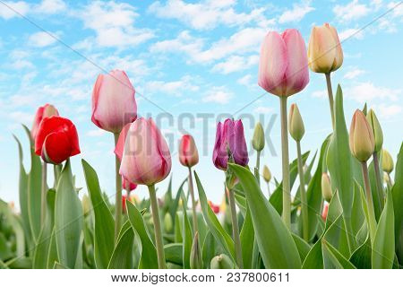 Tulips In A Flowerbed Outdoor With Light Blue Sky And Fluffy Clouds