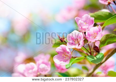 Pink apple flowers, spring blossom background with copy space