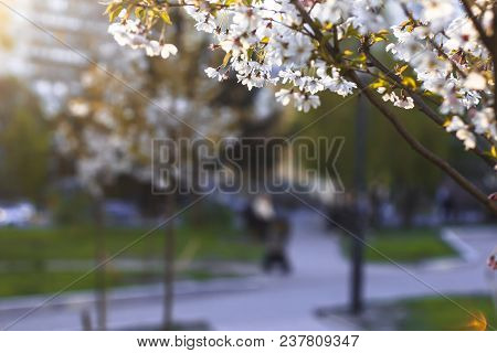 A Blossoming Tree Against A Background Of A Blurred Park Lit By The Setting Sun.