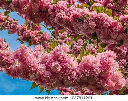 Closed Up Of Cherry Blossom, Sacura, Brooklyn, Ny Us