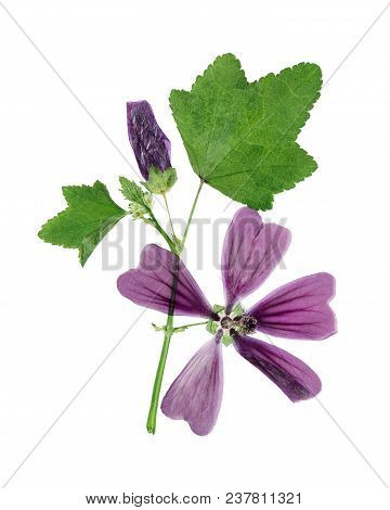 Pressed And Dried Flower Lavatera, Isolated On White Background. For Use In Scrapbooking, Floristry