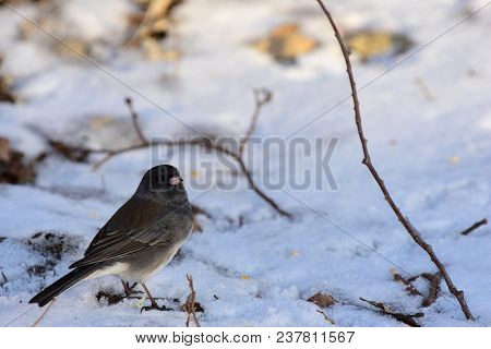 A Dark-eyed Junco Foraging For Seeds On A Cold Snowy Day In Missouri.