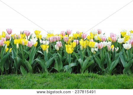 A Garden Of Pastel Colored Tulips Isolated On A White Background, Grass In Front.
