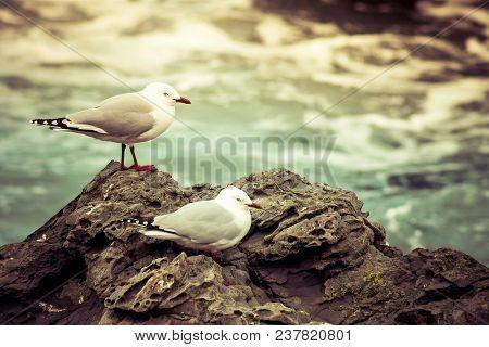 The Red-billed Gull (chroicocephalus Novaehollandiae Scopulinus), Once Also Known As The Mackerel Gu