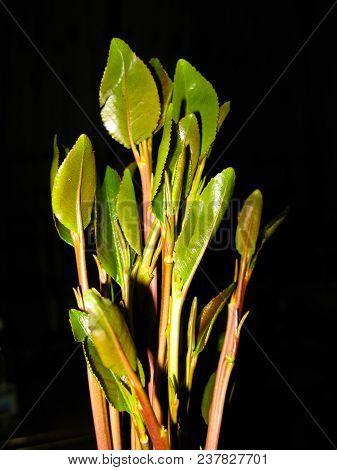 Close-up View Of Qat Aka Chat Plant, Local Stimulant Leaves Of Yemen