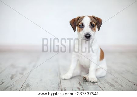 Dog sitting on wooden floor. Puppy jack russell terrier at home on white