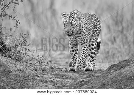 Lone Leopard Walking And Hunting In Nature During Daytime Artistic Conversion