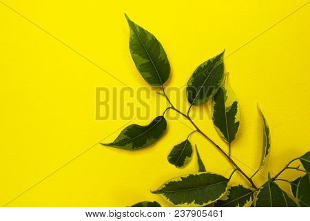 Nature Background.nature Photo Of  Ficus.green Leaves On Yellow  Background,close-up.close Up Natura