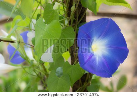 Blue Flowers In The Garden, Stock Photo