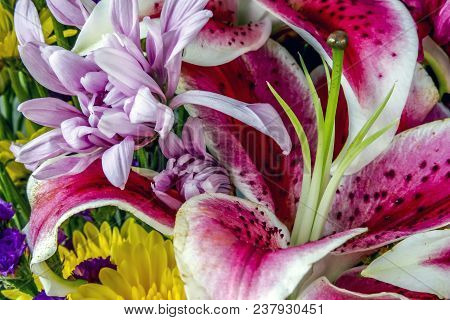 Lilium Cernuum Is A Species Of Lily Native To Korea And Eastern Siberia, The Stargazer Lily Is A Hyb