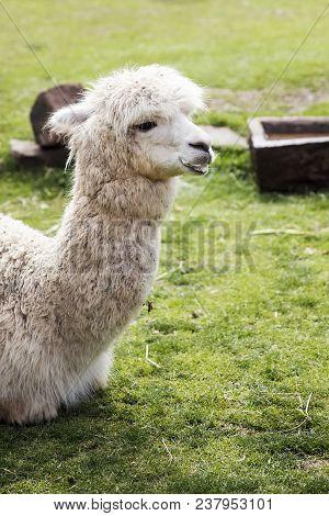 Cute Little Baby Alpaca On Green Field From Peru