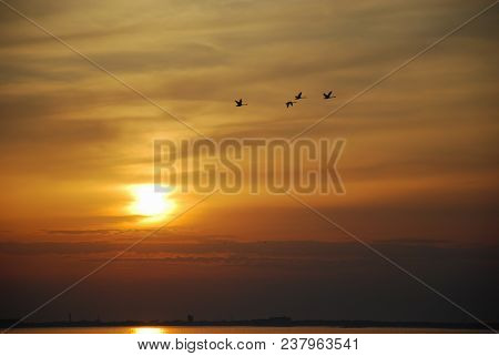 Flying Mute Swans By A Beautiful Sunset At The Swedish Island Oland In The Baltic Sea