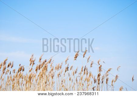 Dry Fluffy Reeds By A Birght Blue Sky