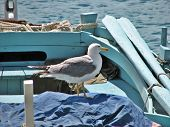 Picture of sea gull taken near the Adriatic sea poster