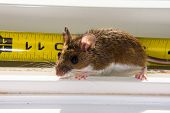 A backlit wild brown house mouse, Mus musculus, sitting on a dirty white windowsill. A bright yellow tape measure is behind the rodent so you can see the length of its body. The backlighting also brings out the red veins in the rodents ears. poster