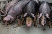 Berkshire Pig or Kurobuta Pig -swine farming business walking around farm in relax time. Pigfarmingis the raising and breeding of domestic pigs as livestock. Pig business poster