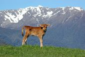 Jersey calf standing on hump West Coast farm South Island New Zealand poster