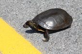 Painted Turtle, crossing a road nearing the yellow centre line, heading towards a gravel laneway. poster