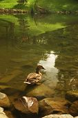 Duck near the shore of a lake poster
