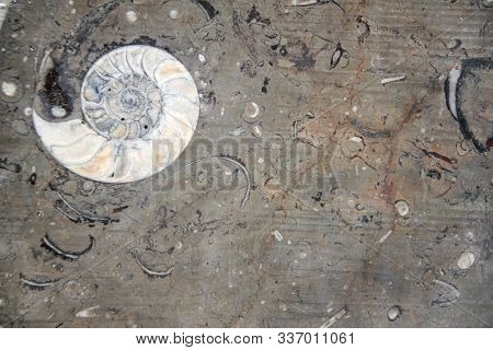 Petrified fossil ammonite shell in stone. Copy space for text