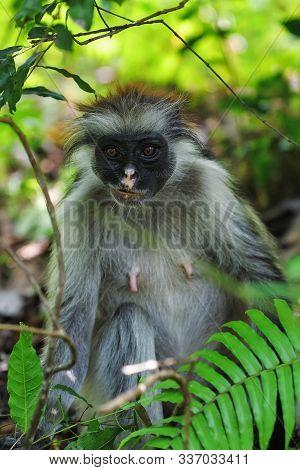 Red Colobus Monkey In A Natural Environment, Zanzibar Jozani Forest. Jozani-chwaka Bay Conservation