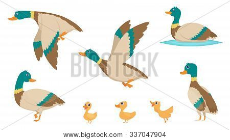 Wild Ducks. Young Swimming Birds Water Pond Little Ducks Vector Cartoon Collection. Illustration Of