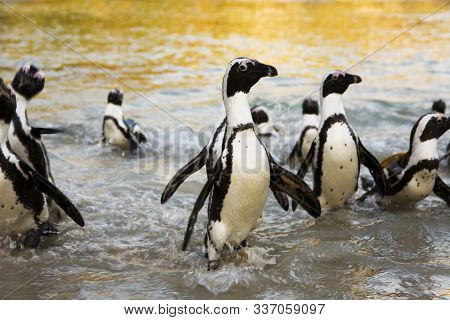 African Penguins Rushing From Water At Boulders Beach, Cape Town, South Africa