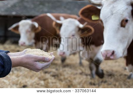 Farmer Feeding Simmental Cows With Dry Feed From Hands