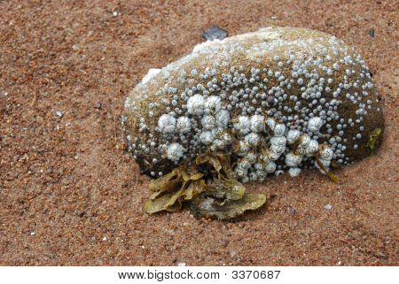 closeup of a small rock covered with shells and algae on a beach poster