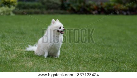 Pomeranian dog on green lawn